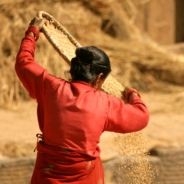 A Nepalese woman farmer is turned away from the camera and working to harvest rice.